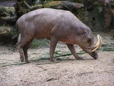 Northern Sulawesi Babirusa - Babyrousa celebensis - Native to northern Sulawesi and the nearby Lembeh Islands, this wild pig-like animal is of the family Suidae. It is threatened due to hunting and deforestation