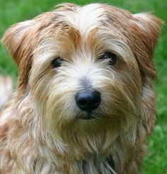 Norfolk Terrier ( super sweet, doesnt bark too much, or shed that much. Perfect!)