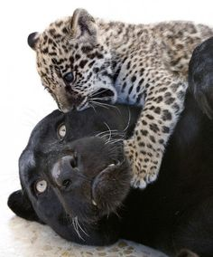 Panther and leopard cub ....  looks like the cub wants a little taste ....hmmm how will the panther react?