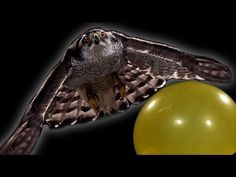 Breathtaking Footage of a Hawk Hunting in Slow Motion Movement Of Animals, Nature Film, High Speed Photography, Laughing Squid, Kinds Of Birds, Beautiful Creatures, Cat Lovers, Hunting, Cool Stuff