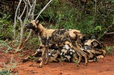 A photographic safari in Madikwe Game Reserve is the perfect way to get up close and personal with endangered African wild dogs.
