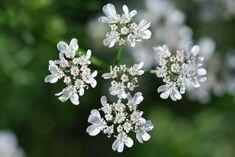 Coriandolo: un fiore in cucina http://www.foodconfidential.it/coriandolo-un-fiore-in-cucina/
