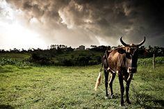 Cuban Cattle