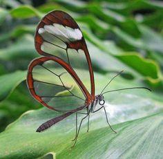 la farfalla dalle ali di 'vetro'