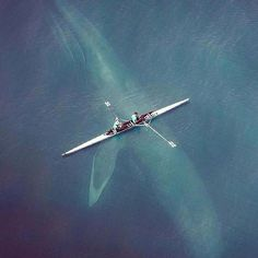 Mammifères marins de la Côte-Nord · · A Blue Whale of 30 metres long for 70 tonnes just below a rowing oar is the largest mammal living in our time. Thanks to ugur eroğul for this cliché. Beautiful Creatures, Animals Beautiful, Photo Animaliere, Photo 2017, Photo Art, Ocean Life, Marine Life, Sea Creatures, Belle Photo