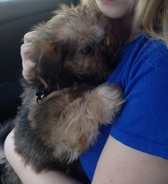 Our shorkie coming home!
