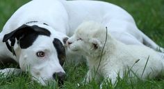 Rare white lion cub is adopted by pointer mongrel