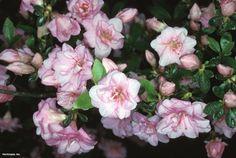 Azalea (Rhododendron (subgenus Azalea) 'Rosebud')