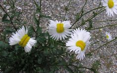 """Source: csmonitor.com There's been a lot of buzz about the """"mutant daisies"""" from Fukushima that have been circulating of late."""