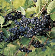 1000 images about aronia berries on pinterest berries shrubs and ornamental plants. Black Bedroom Furniture Sets. Home Design Ideas
