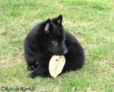 SCHIPPERKE-ELEVAGE CANIN familial des SCHIPPERKES du ROZ de KERHAS Schipperke Puppies, I Love Dogs, Cute Dogs, Dobermans, Holiday Pictures, Adorable Animals, Best Dogs, Moose, Dog Breeds