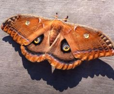 Moth. idea for the Shaman
