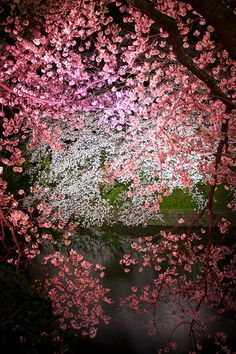 Cherry Blossom Lake - Tokyo, Japan