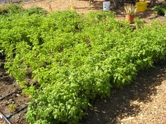 Father Larry's Farm grows fresh herbs that is used in hot nutritious meals created in our kitchens!