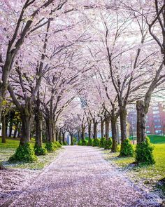 Nadire Atas on Cherry Blossom Trees You Must Visit This Spectacular Cherry Blossom Trail In Ontario - Narcity Cherry Blossom Tree, Blossom Trees, Bloom Blossom, Amazing Photography, Landscape Photography, Nature Photography, Toronto High Park, Sakura Bloom, Flowering Trees