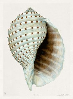 TROWBRIDGE - Meridith Martens Shells - This collection of 9 watercolours of shells is by the North Carolina artist Meridith Martens and was specially commissioned by Martin Trowbridge. They are reproduction giclee prints of her originals printed on fine art Somerset Velvet watercolor paper. They have a hand deckled edge and are of a Limited Edition of 295 signed by the artist. </br>Roomset by:</br> The Le Mani Design Group   Bergen County New Jersey   Lemanidzn@optonline.net   Gary…