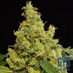 Dinafem Blue Hash Feminised Weed Seeds: This mosty-indica plant can grow to a whopping 3 metres tall and is therefore an excellent yielder. It has a gorgeously mouth-watering aroma of fresh fruits and berries, and is a brilliant resin-maker.