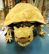 Front view of Meiolania Platyceps fossil, Lord Howe Island museum.