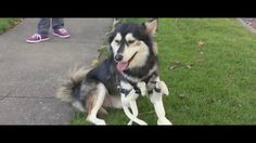 Derby, the gorgeous husky mix with deformed front legs whom we wrote about last year, received an upgrade to his previous set of 3D printed paws, which allowed him to walk and run but left him in a…