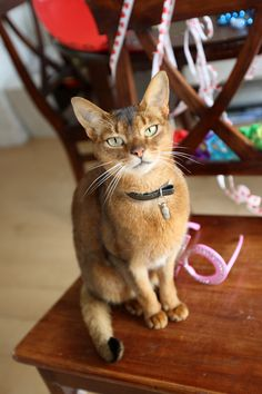 Absolutely GORGEOUS eyes!! Abyssinian cat