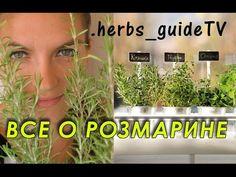 Розмарин. Как вырастить розмарин из семян. Мой сад, огород. Копилка дачного опыта.