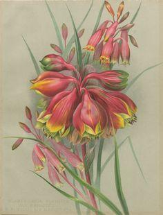 Guillaume Severeyns after Ellis Rowan Blandfordia flammea var. Princeps, B.nobilis & B.marginata 1895 chromolithograph Collection: Art Gallery of Ballarat via National Trust S.H. Ervin Gallery (facebook)