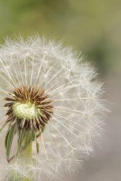 Cool Photos, Amazing Photos, Dandelions, Earth Tones, Pretty Flowers, Fancy, Plants, Christmas, Feels