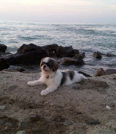 #shihtzu #dogs cute but my little Katie would Never sit this still.