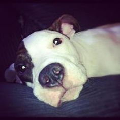 Pina is an adoptable Pit Bull Terrier Dog in New York, NY. Pina is a happy, silly, playful, petite snuggle bug. She wins the award for best sleeping buddy in the world! She sleeps all night on her bac...