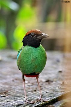 Hooded Pitta #1 | Flickr+++++