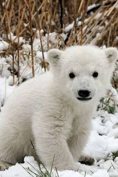 Baby Polar bear. I miss you Johnny... My lil polar bear