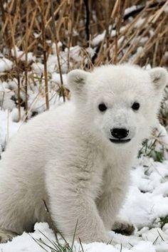 Baby polar, sweet little face