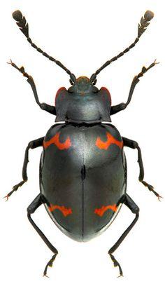 Sinocymbachus angustefasciatus ~ETS #beetle