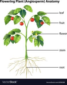 Illustration of Illustration showing the parts of a tomato plant vector art, clipart and stock vectors. Fruits Images With Name, Seed Illustration, Root Structure, Plant Vector, Tomato Seeds, Flower Names, Plant Images, Parts Of A Plant, Garden Guide
