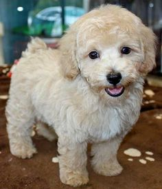 Bichon Poodle Mix, Bichon Frise, Teddy Bear Puppies, Cute Dogs And Puppies, Doggies, Poochon Puppies, Goldendoodles, Cockapoo, Puppys