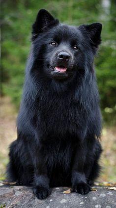 Swedish Lapphund; just stunning!