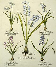 Blue Hyacinth, Wood Hyacinth ~ by Basilius Besler
