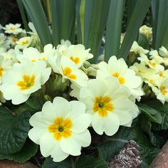 Buy primrose Primula vulgaris: Delivery by Crocus Mulch Around Trees, Trees And Shrubs, Primrose Plant, Lawn Soil, Planting Marigolds, Primula Auricula, Primroses, Winter Garden, Growing Vegetables