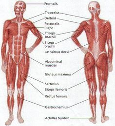 Human Body Muscle Diagram