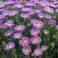Growing Aster Alpinus seeds is an easy and rewarding way to bring these wonderful perennial blue flowers to the garden. Start flower seeds and grow enough for a neighbor! Flora Flowers, Types Of Flowers, Purple Flowers, Wild Flowers, Beautiful Flowers, Sun Plants, Garden Plants, Outdoor Plants, Outdoor Gardens