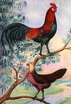 Red Jungle Fowl  This breed is believed to be the origin species of our modern chickens.