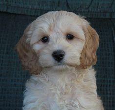 Cockapoo Puppies, CAD $750.00