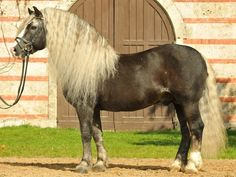 Black Forest Horse - stallion Revisor