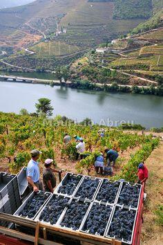 #PortWine Grape harvest along the Douro river, near Covelinhas. Alto Douro, #Portugal | UNESCO World Heritage Site