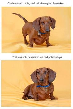 .I gotta admit, this made me laugh. Typical doxie.