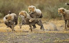 A cheetah cub gives another cub a high-speed piggy back as they play on the savanna in Ngorongoro Conservation Area, Ndutu Plains, Tanzania. Paul Souders photographed them larking around in front of their mother.  Picture: Paul Souders / Barcroft Media