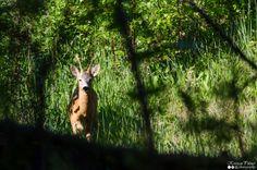 Metskits - Roe Deer - Capreolus capreolus