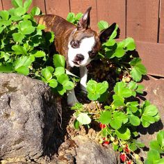Those little red things are edible?!  Well I guess I'd better find a new place to poop!  #doingmyparttofertilizethegarden #iwilleatuntilitlookslikeiamwearinglipstick #nostrawberryissafe #redwhiteandbrindle  #puppy #bostonterrier #puppydogeyes #bostonterrierpuppy #cutepuppy #strawberries #puppiesofinstagram #ilovemydog #dogstagram #garden #dogsofinstagram #Bourbon  #flatnosedogsociety #love #bostonterriersofinstagram #dailypuppy #bostonterriersforever #bostonterriers by bourbon_the_boston