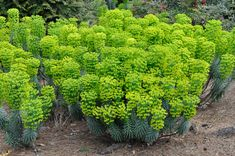 Evergreen Spurge Euphorbia wulfenii 'Shorty' Part - F/S Spring Bloom Height: 23-35 inches  Spread:  14-16 inches