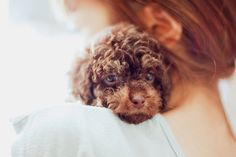 Baby Chocolate Poodle.... every home needs puppy love <3